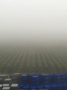 午前7時のシャンパーニュ。この霧が高い品質のぶどうを生み出す